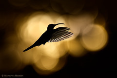 Rise to the sun (hvhe1) Tags: wildlife nature wild animal bird hummingbird kolibrie violet gold sunrise morning violetsabrewing campylopterushemileucurus violettesabelvleugel bokeh costarica bosquedepaz hvhe1 hennievanheerden campyloptèreviolet violettdegenflügel