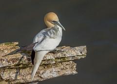 DSC2780  Gannet.. (jefflack Wildlife&Nature) Tags: gannet gannets birds avian animal wildlife wildbirds gulls seabirds shorebirds seashore cliffs countryside coastalbirds bempton yorkshire nature