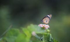 .. morning treat .. (vjsankar) Tags: butterfly nature flowers canon canon6d canonef200mmf28 kenko kenko2xexternder kerala vellayani punchakkari trivandrum
