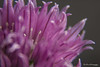 Chives 1 (paultannerphoto) Tags: paul tanner photography