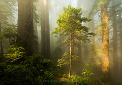 Nourish the Young (Bob Bowman Photography) Tags: landscape nature forest redwoods coastal northerncalifornia california fog mist trees light morning green lush