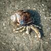 Einsiedlerkrebs -1- (MAICN) Tags: makro sand nahaufnahme krebs ocean einsiedlerkrebs hermitcrab northsea crab 2017 macro animals norderney wasser nordsee water