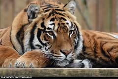 Bengal tiger - Zoo Amneville (Mandenno photography) Tags: dierenpark dierentuin dieren animal animals bengal bengaalse tiger tijger tigers tijgers sheer khan zoo amneville zooamneville france frankrijk
