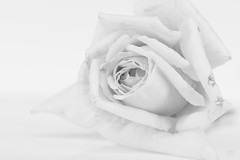 High Key - HMM (_gp_) Tags: rose highkey macromondays makro pflanze natur blüte