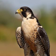 Peregrine Falcon (brian.bemmels) Tags: falco peregrinus falcoperegrinus peregrinefalcon falcon peregrine richmond bc britishcolumbia canada richmondraptorfestival terranovapark