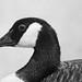 Canada goose monochrome