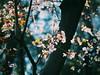 Transparencia (valctusphotography) Tags: chileflickr chile santiago flores olympus flowers cherry blossom cerezo macro pink primavera spring cerro santa lucía