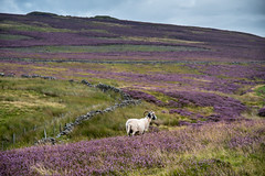 Pentland Hills all dressed in heather (ola_er) Tags: hills sigma nikon heather august summer colours purple sheep landscape