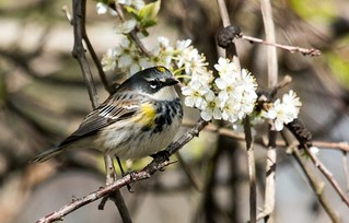 IMG_9126  Yellow-rumped or Myrtle Warbler