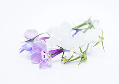 Lobelia (Skyline:)) Tags: flower colour highkey macro small pretty
