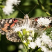 Painted Lady nectaring upside down. (just another bozo on the bus) Tags: