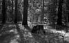 Along the John Muir Trail (bingley0522) Tags: leicaiiic voigtlandercolorskopar50mmf25 tmax100 hc110h epsonv500scanner johnmuirtrail tuolumnemeadows lyellforkofthetuolumneriver autaut easternsierra yosemite yosemitenationalpark