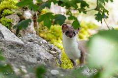 Hermine (sfrancois73) Tags: mammifère hermine faune
