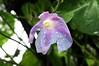 Nasse Blüte einer Purpur-Prunkwinde (Ipomoea purpurea); Bergenhusen, Stapelholm (9) (Chironius) Tags: stapelholm bergenhusen schleswigholstein deutschland germany allemagne alemania germania германия niemcy blüte blossom flower fleur flor fiore blüten цветок цветение asterids campanuliids solanales nachtschattenartige convolvulaceae windengewächse ipomoea prunkwinde wasser blau