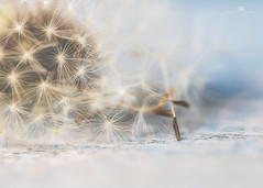 history of a dandelion - part 2 (rockinmonique) Tags: historyofadandelion dandelion macro seed seedhead fuzz fluff blue brown bokeh moniquew canon canont6s tamron copyright2017moniquew