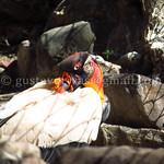 031 Zoológico de Mendoza - Cóndor real - Mendoza - Argentina thumbnail