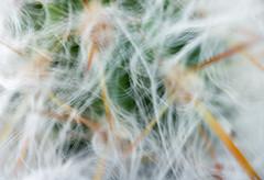 cactus blur (sephrocker) Tags: blur blurry cactus white bright plant outoffocus macro