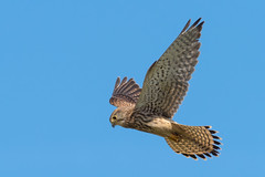 Kestrel........ (klythawk) Tags: kestrel falcotinnunculus hovering nature wildlife summer sunlight bluesky brown beige yellow grey black olympus omd em1mkll 300mm 14xtc framptonmarsh lincolnshire klythawk