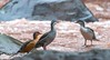 Ecuadorian Torrent ducks Mom, Dad and JR respectively (Merganetta armata)