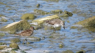 Semipalmated and Least Sandpiper_N8815