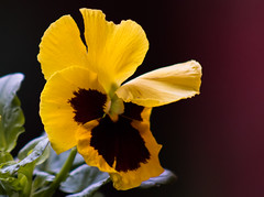 365-239 (Letua) Tags: amarillo closeup flor flower naturaleza nature pansy pensamiento yellow