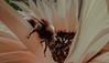 Hello (cmacphee84) Tags: beemacro bee sumflower