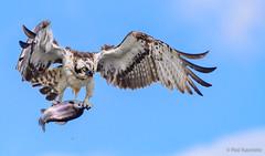 Osprey with a mighty catch (PasiKaunisto) Tags: osprey sääksi kalasääski bird birdsofprey birdphotography fish flying wings trout finland wildlife wildlifephotography nature naturephotography