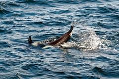 Orca Tail Slap Series (ferglandfoto) Tags: nd45402 orca killerwhale whaletail