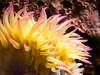 sea anemone (apmckinlay) Tags: anemone animals aquarium nature monterey california unitedstates us