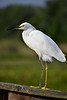Snowy Egret (BMADHudson) Tags: snowy egret bird bocaraton greencay greencaynaturecenter greencaywetlands green cay florida floridaphotography floridawetlands feathers wildlife wildlifephotography wings