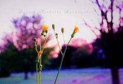 IMG_9110 (2)lmb2c (lauren_michelle_byckowski) Tags: bokeh nature naturephotography colorful sunrise sky braches morning pinksky purplesky vibrant dandelions flowers flower petals landscape september autumn fall