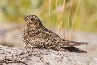 Common nighthawk  Victoria bc