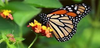 1775e  Monarch on lantana