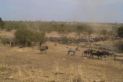 Migracao GNU - Travessia do Rio Mara 33 (Joao Pena Rebelo) Tags: tanzania gnus wildebeest migration safari serengeti wildebeests marariver