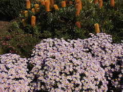 The Australian Garden in August (Lesley A Butler) Tags: victoria cranbourne australiannativeplants australiangarden australia