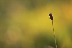 Stillness (alideniese) Tags: closeup macro flora nature 7dwf alideniese grass weed wildflower bokeh sunset backlight backlit evening outdoors one alone