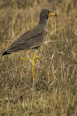 AFRICAN WATTLED PLOVER (dmberman1) Tags: africanwattledplover eastafrica tanzania animals africasafari