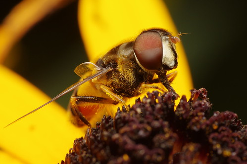 Hoverfly on Sneezeweed