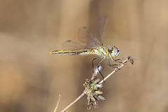 efímera pose (Aristides Díaz) Tags: macro libélula dragonfly odonato zigóptero sympetrumfonscolombii insecto vegadegranada campo silvestre vidasilvestre alhendín sigmaapo180macrof56