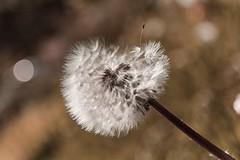 Wish.... (Martika64) Tags: dientedeleón flor florsilvestre naturaleza flora dandelion flower wildflower nature naturephotography outdoor noperson color colorimage bokeh