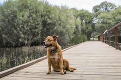 The Model (SteveKPhotography) Tags: sony stevekphotography a99ii ilca99m2 sal1635z variosonnar163528za variosonnart281635 za scenery scenic landscape dog canine pet water trees boardwalk fence sam wideangle nature animal outdoors canningriver westernaustralia