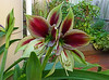 Double Hippeastrum (fibregal) Tags: hippeastrums hippies flowers