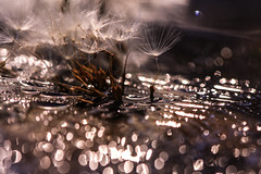 ..they played, they laughed, they danced.. (dawn.tranter) Tags: dawntranter macro bokeh reflections seeds dandelions play laugh dance rich 7dwf