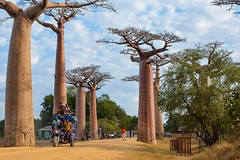 (mdiec) Tags: madagascar africa baobab alley trees kids people road adansonia nature rickshaw avenue malagasy menabe morondava