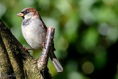 Sparrow (parry101) Tags: south wales southwales nature geraint parry geraintparry wildlife cardiff forestfarm forest farm close closeup sigma sigma150600 150600 150600mm d500 nikond500 bird birds sparrow sparrows perch perched