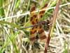 Halloween Pennant (Daniel Weeks) Tags: httpdanieleweekscomphotography copyrightbydanieleweeks copyrightallrightsreserved img4522jpg dragonfly halloweenpennant