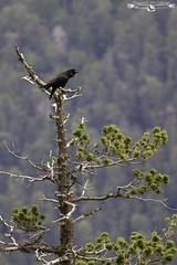 Common raven - Corvus corax - Cuervo grande. (Fotografias Unai Larraya) Tags: cuervogrande animales aves valledeordesa montaña lospirineos huesca arboles ambientada