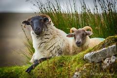 Family time (Sinéad Hickey) Tags: mayo sheep lamb ewe desertedvillage ireland wildatlanticway achillisland west