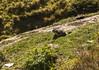 WallisWanderig030 (Drcopy) Tags: switzerland murmeltier groundhog