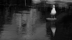 Firmly Planted (Rand Luv'n Life) Tags: odc our daily challenge water reflections lily pond balboa park san diego california seagull building monochrome blackandwhite outdoor